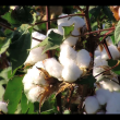 Monsanto faces strong opposition to GM cotton from Malawi civil society